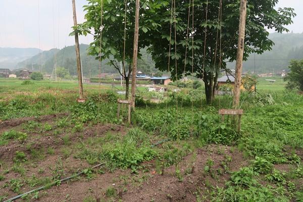 ホップの無肥料無農薬栽培