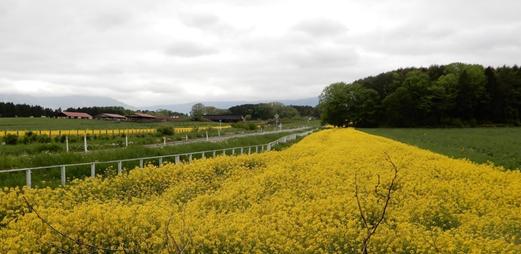 小岩井農場の菜の花